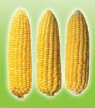 Jagung Manis Mega sweet Corn