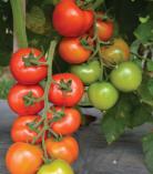 Tomat Hybrida 128 F1