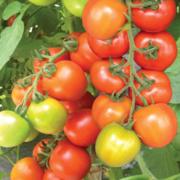 Tomat Hybrida Resto F1