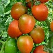 Tomat hybrida astera F1