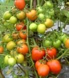 tomat hybrida kareka F1