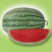 Watermelon Long Sea Dragon